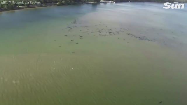 Австралияда 400дөй дельфин жээкке чыгып өлдү